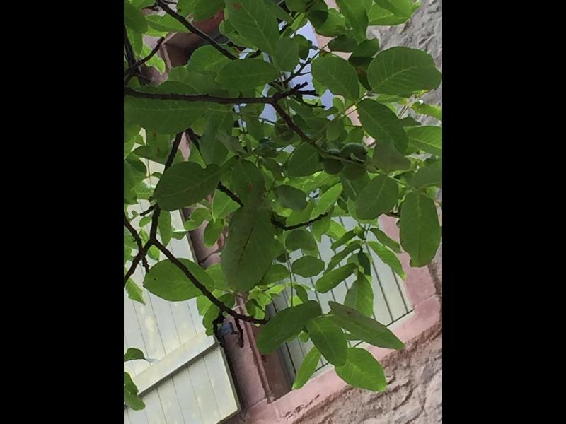 Schattenspendender Walnussbaum